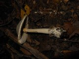 Amanita elliptosperma image