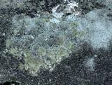 Cladonia petrophila image