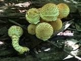 Pholiota squarrosoides image