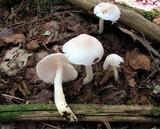 Hygrophorus eburneus image