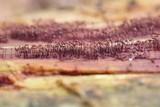 Cribraria cancellata var. cancellata image