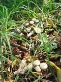 Pholiota gummosa image