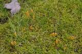 Clavulinopsis laeticolor image