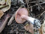Cortinarius lilacinus image