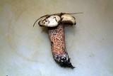Suillus placidus image