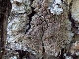 Degelia plumbea image