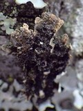 Physconia venusta image