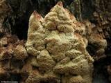 Antrodia heteromorpha image