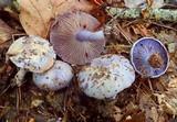 Cortinarius aggregatus image