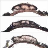 Arthonia leucopellaea image