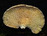 Panellus pusillus image