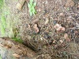 Lepiota brunneoincarnata image
