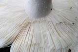 Russula subgraminicolor image