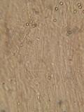 Pluteus brunneidiscus image