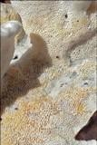 Skeletocutis amorpha image