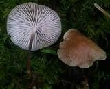 Gymnopus subpruinosus image