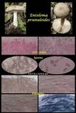 Entoloma prunuloides image