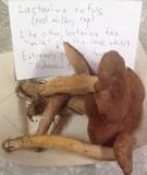 Lactarius rufus image