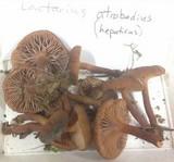 Lactarius atrobadius image