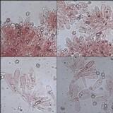 Entoloma sericeum image