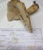 Russula crenulata image