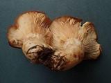 Lactarius olympianus image