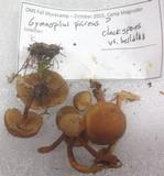 Gymnopilus picreus image