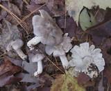 Tricholoma luteomaculosum image