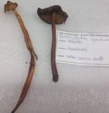 Phaeocollybia spadicea image