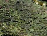Dimerella pineti image