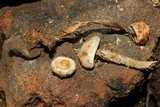 Battarreoides diguetii image