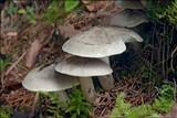 Tricholoma scalpturatum image