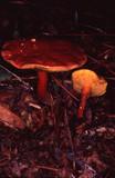 Boletus rubellus image