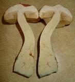 Boletus viscidocorrugis image
