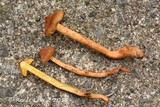 Cortinarius uliginosus image