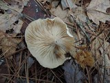 Clitocybe subclavipes image