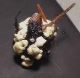 Cordyceps brongniartii image