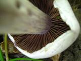 Cortinarius alboviolaceus image