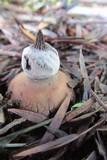 Geastrum elegans image