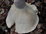 Russula chloroides image