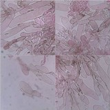 Lepiota grangei image