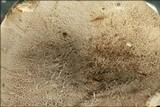Boletus radicans image