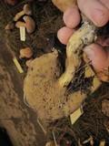 Suillus tomentosus image