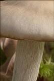 Dermoloma josserandii image