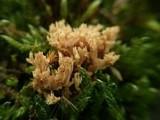 Image of Phaeoclavulina roellinii