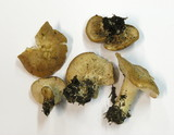 Rhodocybe gemina image
