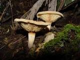 Paxillus rubicundulus image