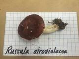 Russula atroviolacea image