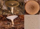 Polyporus tuberaster image