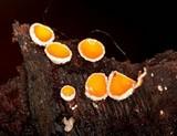 Lachnellula calyciformis image